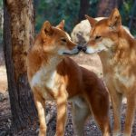 Canine and Dingoes Are Not Boning
